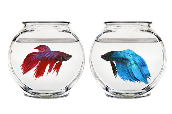 Beta Siamese Fighting Fish